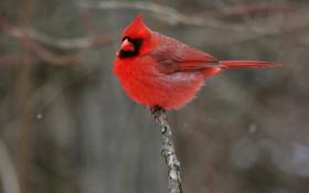 Картинка птичка, красная, кардинал