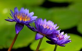 Обои водяные лилии, озеро, цветы