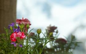 Картинка цветы, фокус, разные, гвоздики