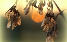 Обои закат, семена, дерево, солнце, серёжки