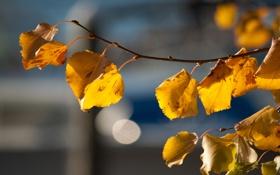 Обои веточка, фон, листики, время года, солнечный свет, осенние, берёзовая