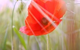 Картинка цветок, красный, мак, лепестки