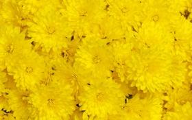 Обои хризантемы, жёлтые, макро