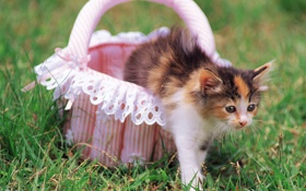Обои кот, корзина, киска, котэ, котенок, трава, cat