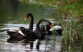 Картинка пруд, лебеди, черные