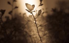 Картинка свет, луч, Цветок, лепестки, стебель, сепия