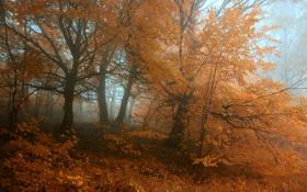 Обои осень, лес, деревья, оранжевый, туман