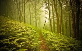 Обои лес, природа, тропа, папоротник
