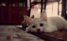 Обои ковёр, котёнок, animals, pets, kittens