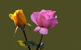 Обои роза, лепестки, природа, бутон