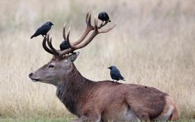 Картинка птицы, природа, олень