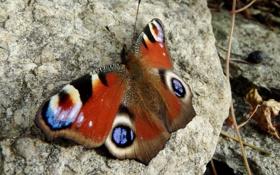 Картинка бабочка, камень, размытость, павлин, Peacock