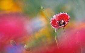 Обои цветок, мак, бутоны