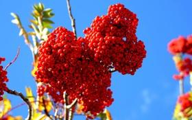Обои рябина, кисть, плоды, красные, ветка, размытость, ягоды