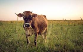 Обои поле, природа, корова