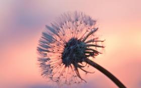 Обои цветок, небо, природа, одуванчик