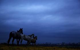 Картинка поле, небо, облака, ночь, синий, лошади, сумерки