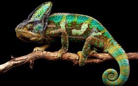 Картинка природа, хамелеон, фон