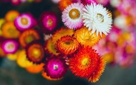 Обои белый, красный, Цветок, flower