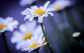 Обои ромашки, цветы, макро, фон