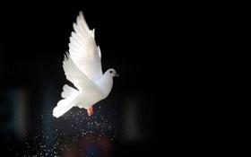 Обои природа, птица, мир, голубь