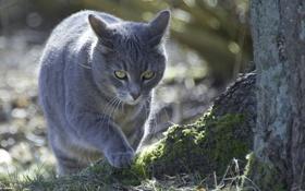 Картинка кошка, кот, дерево, крадется