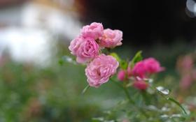 Обои бутоны, розовые, куст, растение, лепестки, розы, стебли