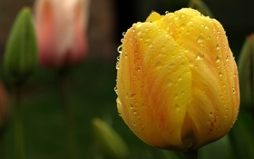 Обои цветок, капли, макро, желтый, тюльпан