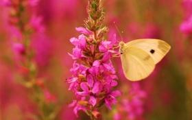 Обои розовый, цветок, крылья, бабочка, фокус