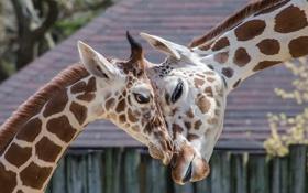 Обои фон, жирафы, зоо