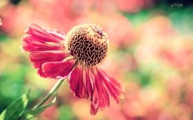 Обои цветок, макро, цветы, гербера, цветность, puxa