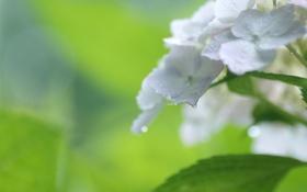 Обои капли, цветы, куст, белая, гортензия, соцветие