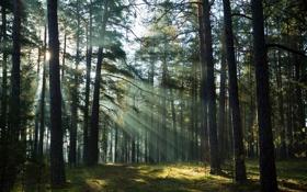 Обои light, forest, trees
