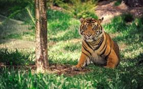 Обои тигр, полосы, дерево, окрас, травка