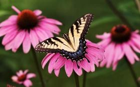 Картинка цветок, парусник, бабочка