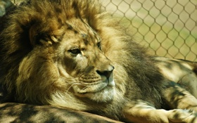 Обои фон, лев, зоопарк