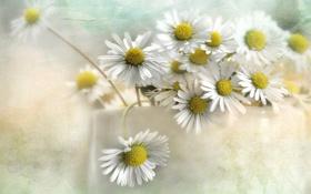Обои текстура, ромашки, цветы