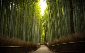 Картинка дорога, деревья, бамбук