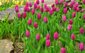 Картинка листья, парк, лепестки, сад, тюльпаны