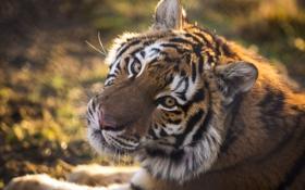 Картинка взгляд, свет, тигр, хищник
