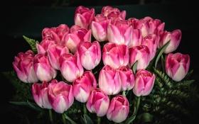 Картинка розовый, тюльпаны, букет, бутоны