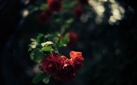 Картинка листья, розы, лепестки, красные
