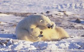Картинка белые медведи, Арктика, polar bears