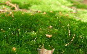 Картинка лес, трава, зеленый, роса, ковер, листва, мох