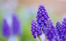 Обои макро, цветы, размытость, синие, мускари
