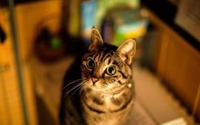 Обои кот, глаза, уши, кошка
