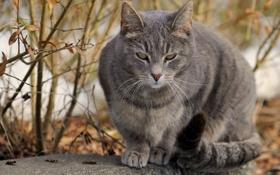 Обои осень, кот, серый, сидит
