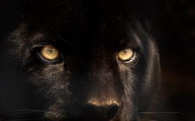 Обои кошка, взгляд, животное, пантера, черная
