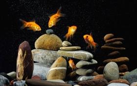 Обои рыбки, камни, аквариум, золотые