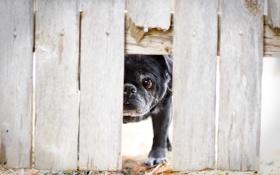 Картинка взгляд, друг, забор, собака